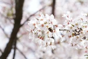 2017「庄内の桜」